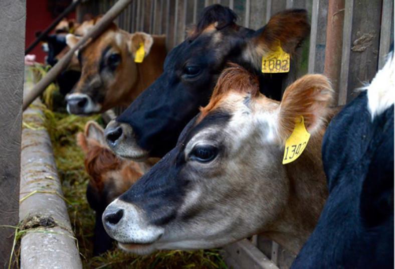 freddo, leche, tours, poás, quesos, fresas, vacas, entradas, 2x1, lecheria