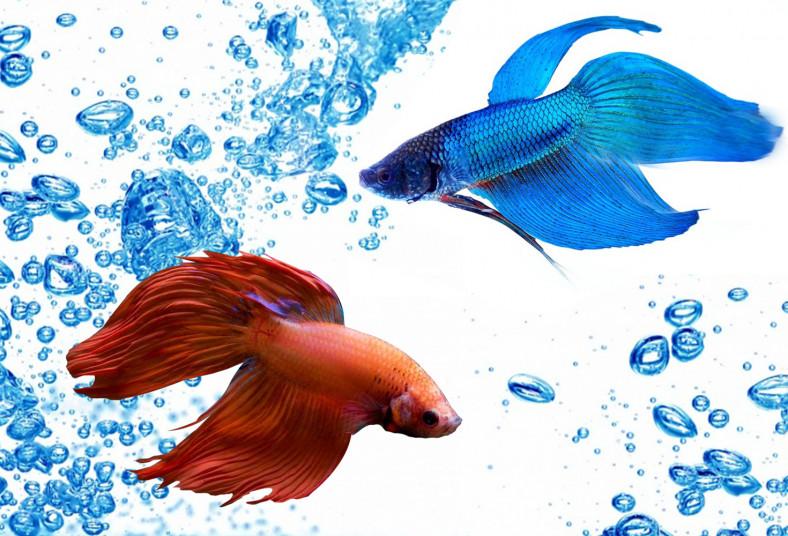 Acuario, Fish, Center, G&R, pez, betta, splender, pecera, paradise, garantía,
